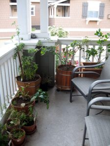 This is our side balcony with tomato plant in the left corner and a meyer lemon tree in the right corner plus a couple of chairs to sit back and enjoy the evening sun.